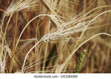 The wheat before the harvest