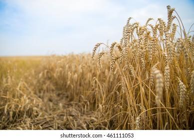 Wheat before harvest.