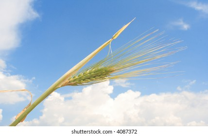 Wheat branch against blue sky
