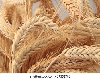 wheat bundles golden halloween harvest  thanksgiving  closeup
