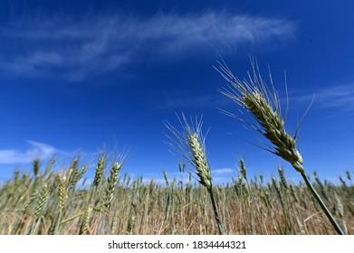 Wheat cereal grain plants growing in a field in the Wheat belt near Dalwallinu, Western Australia.
