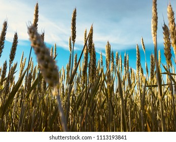 Wheat cereals grow in the field.