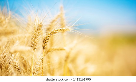 Wheat closeup. Wheat field. Background of ripening ears of wheat. Harvest and food concept.