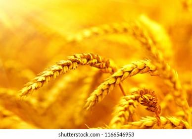 Wheat closeup. Wheat field on sun. Background of ripening ears of wheat.