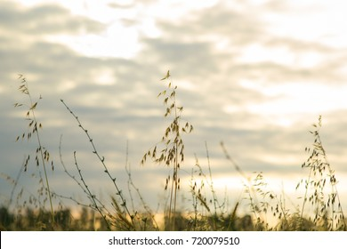 Wheat and cloudy sky