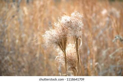 Wheat colored field
