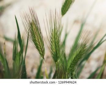 wheat containing gluten close up shot