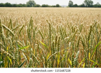 Yellow Crop Images, Stock Photos & Vectors | Shutterstock
