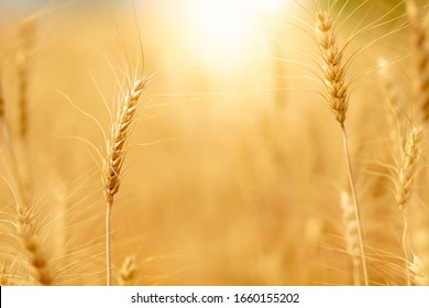 Wheat crop field. Ears of golden wheat close up. Ripening ears of wheat field background. Rich harvest Concept.