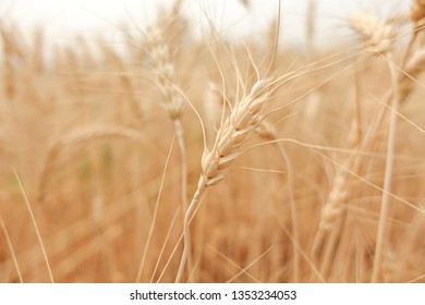 Wheat crop in field on sunny day