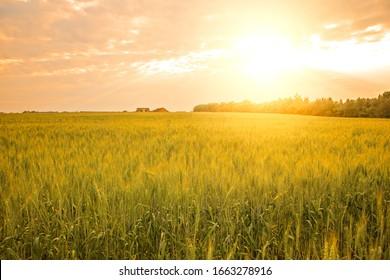 Wheat crop field, Sunset landscape on rye land. Harvesting
