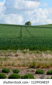Wheat crop growing in field sloping up hillside