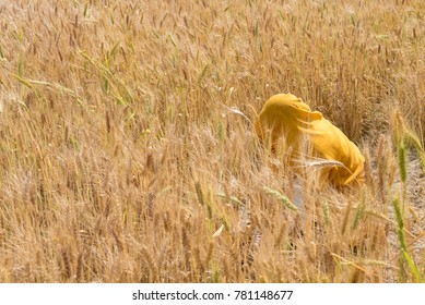 Wheat crop Harvesting by an Unrecognized woman dressed in yellow uniform, in India.