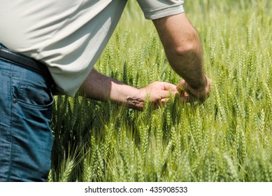 Wheat crop protection and responsible cereal plants growth, male farmer in cultivated field.
