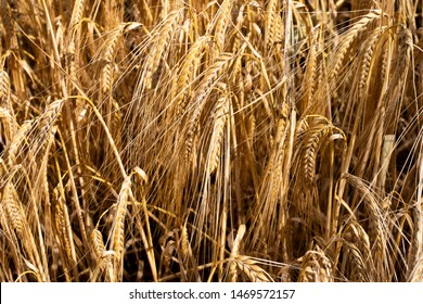 Wheat crop ripe for harvest in field in rural Hampshire with shallow depth of field