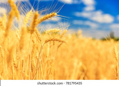 a wheat crop with the sky blurred in the background