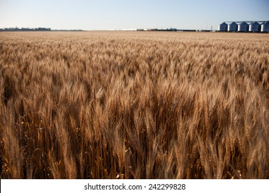 wheat crop USA