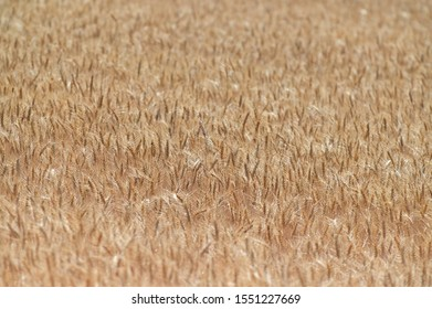 Wheat crops in Kalbarri Western Australia. No people. Copy space