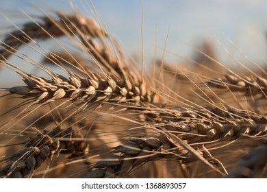 Wheat crops swaying in the wind. Dry and rigid from the outside, but the inside provides us with bread, cereal, food and life.