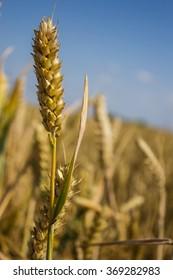 wheat ear
