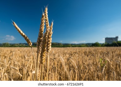 Wheat ear spikes close up with grain silo in the background.  Growth, prosperity and gain