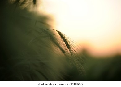 Wheat ear in the sunset