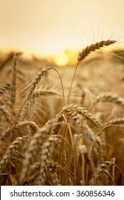 Wheat in early sunlight ready for harvest growing in a farm field