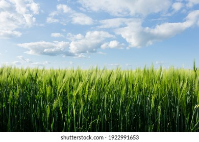 Wheat ears with beautiful sky spring background