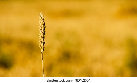 Wheat ears close up