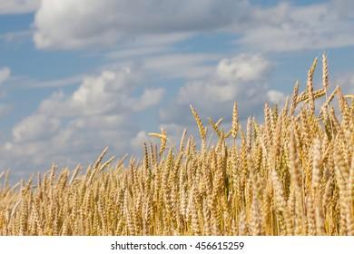 wheat ears closeup on blue sky background