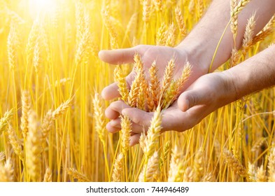 Wheat ears and the farmer hand. Harvest concept