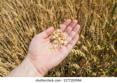 Wheat ears and grains in a farmer's hand. Cereal harvesting. Agricultural concept.