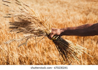 Wheat ears in the hand