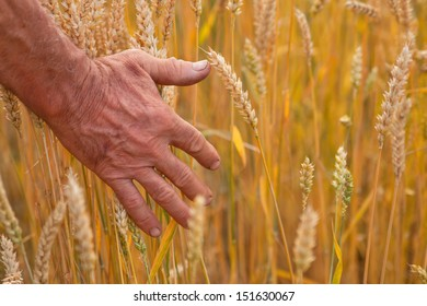Wheat ears and hand, harvest concept, agriculture nature photo
