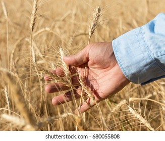 Wheat ears in the hand on the field