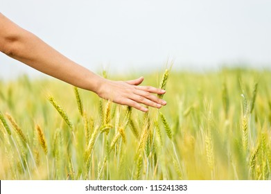 Wheat ears in the hand.Harvest