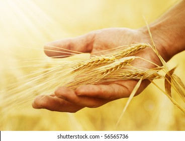 Wheat ears in the hand.Harvest concept