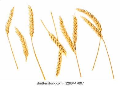 Wheat ears isolated on a white background,top view.Ripe ears of wheat isolated on white background