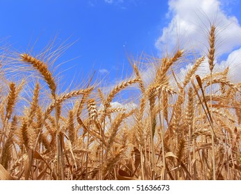 Wheat ears on the background's of the blue sky
