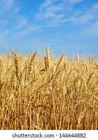 Wheat ears on field against blue sky.