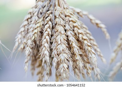 Wheat ears stalks bouquet macro view photo. Shallow depth of field, selective focus.