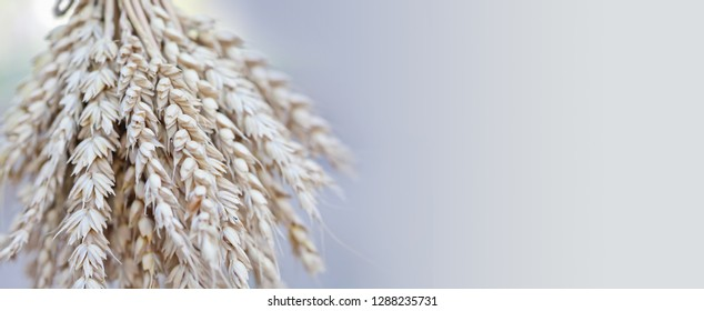 Wheat ears stalks bouquet macro view photo. Shallow depth of field copy space.