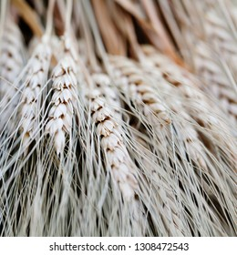 Wheat ears stalks bouquet macro view photo. Shallow depth of field, selective focus