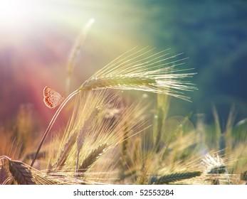 wheat ears under the sunshine