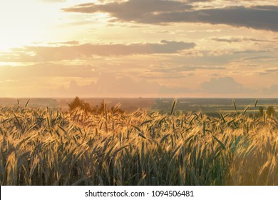 Wheat ears under the sunshine. Sun shining through ripe wheat.