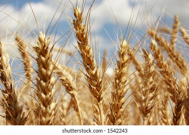 A wheat farm in Ohio