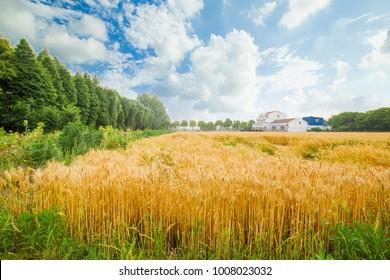 Wheat wheat field wheat field
