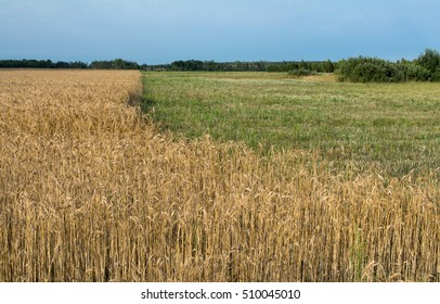 wheat field, wheat,
