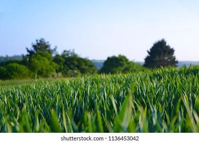 Wheat field across the Cornish countryside.