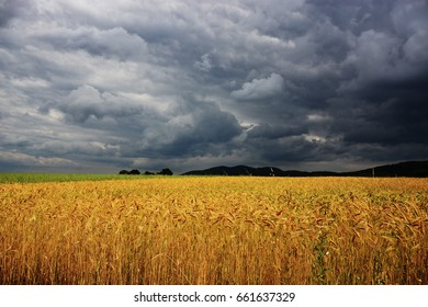 wheat field after storm